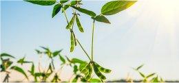 Het effect van sojabonen